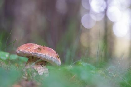 Boletus-edulis-prima-della-pioggia