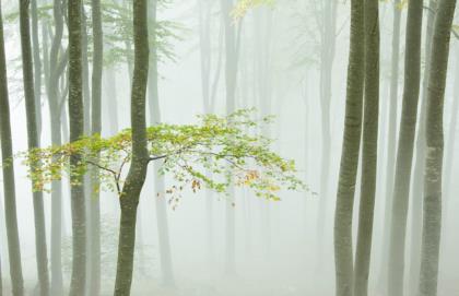 faggeta-nella-nebbia