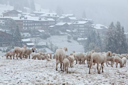 Gregge-di-pecore-a-Sauris