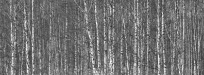 l'esercito delle betulle silenti  si schiera in difesa della natura