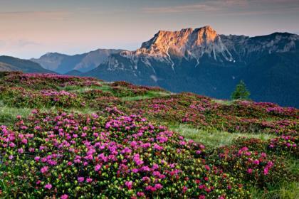 La fioritura del rododendro